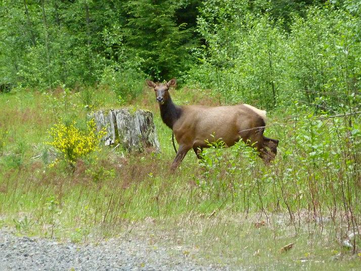 Elk along Cowichan Lake   cycle touring Vancouver Island