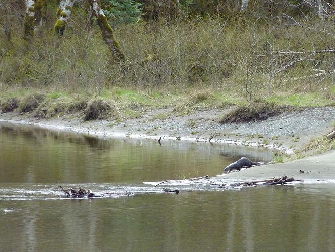 River otter along Salmon River | Memekay Main near Sayward | cycle touring north Vancouver Island