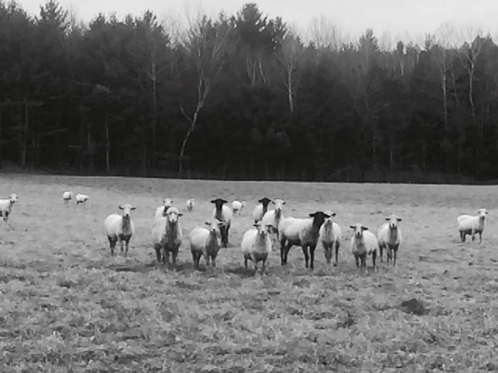 My friends the sheep are happy about the extra field time this winter