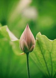 lotus budding.jpg
