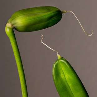 Agapantha Seed Pods