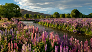 Lupins of the MacKenzie Country