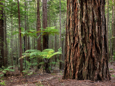 The Redwoods of Rotorua