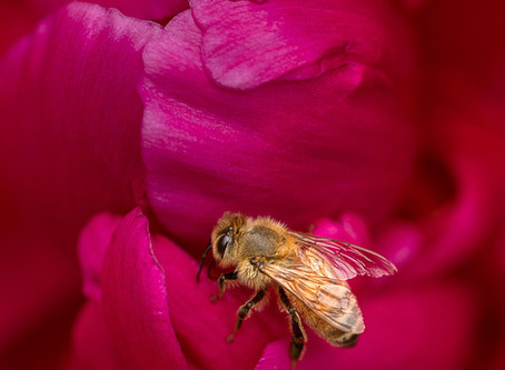 The Peony Rose and the Honey Bee