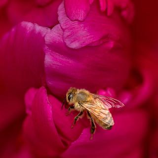 The Peonie Rose