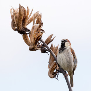 The Singing Sparrow