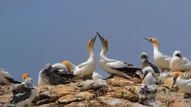 Australasian Gannets