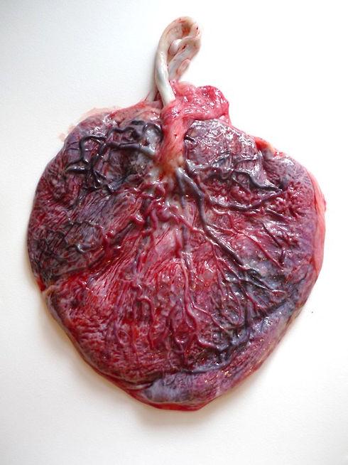 placenta.jpeg