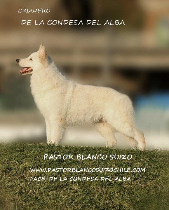 Pastor Blanco Suizo