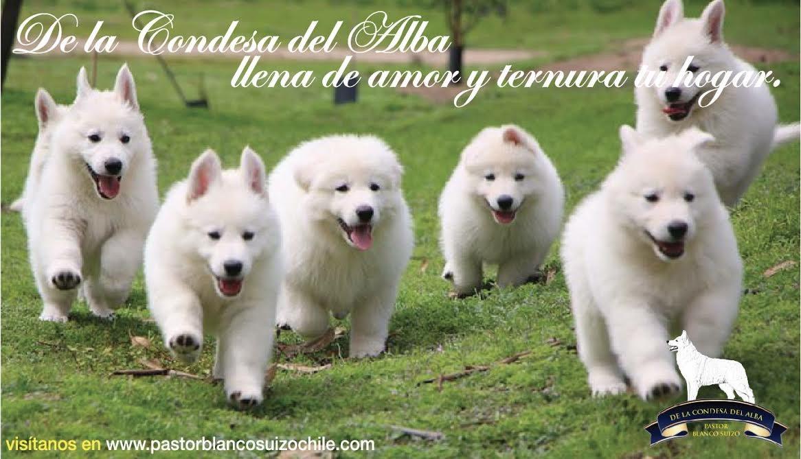 venta-pastor-blanco-suizo-cachorro-470511-MLC20569927554_012016-F