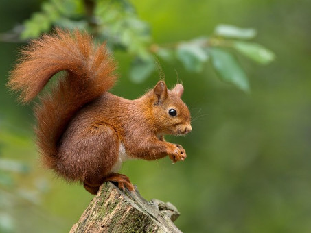 Do squirrels really forget where they bury their nuts?