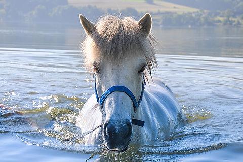 weißes Pferd im Wasser