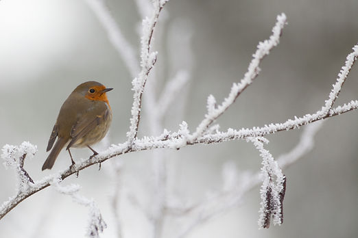 Robin in the snow in winter.jpg