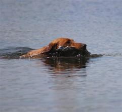 Troubador swims retr .jpg