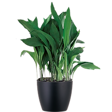 Aspidistra_Low_Light.png