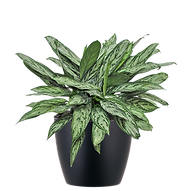 Aglaonema-Silver-Queen_Low_Light.png