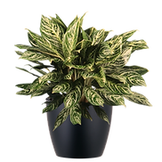 Aglaonema-Corey_Low_Light.png