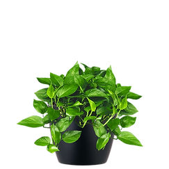 Pothos-Jade_Low_Light.png