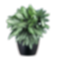 Aglaonema-Silver-Bay_Low_Light.png