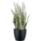 Sansevieria-Silver-Queen_Low_Light.png