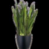 Sansevieria-Zeylanica_Low_Light.png