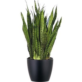 Sansevieria-Zeylanica_Low_Light.png
