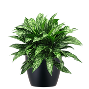 Aglaonema-Tigress_Low_Light.png