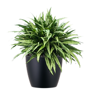 Aglaonema-Cutlass_Low_Light.png
