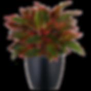 Aglaonema-Firecracker_Low_Light.png