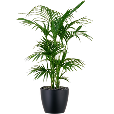 Kentia-Palm_Low_Light.png
