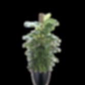 Pothos-Marble-Totem_Low_Light.png