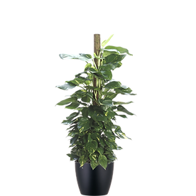 Pothos-Marble-Totem_Low_Light.png