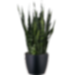Sansevieria-Black-Coral_Low_Light.png