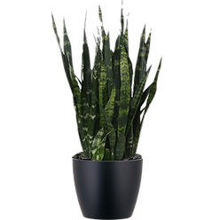 Sansevieria-Black-Coral_Low_Light.png