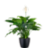 Peace-Lily_Low_Light.png