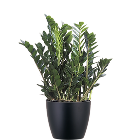 Zamioculcas-Zamifolia_Low_Light.png