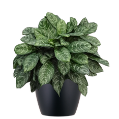 Aglaonema-Calypso_Low_Light.png