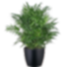 Palm-Neanthe-Bella_Low_Light.png