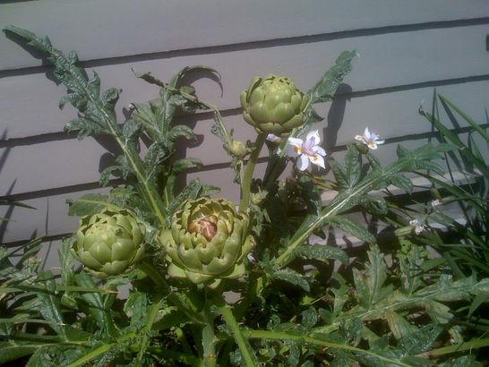 First artichoke