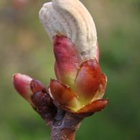 chesnut bud