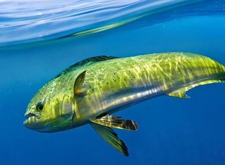 Desventajas de liberar al pez dorado a la pesca comercial en Los Cabos