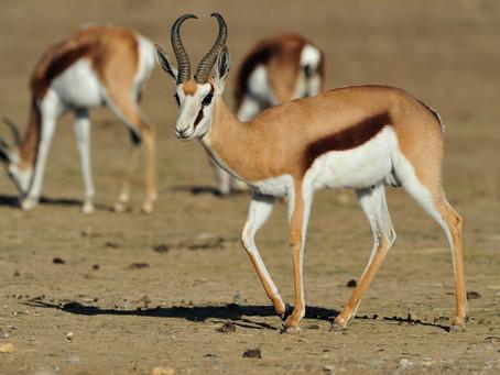 Le Springbok, symbole de l'Afrique du Sud