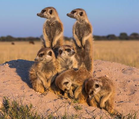 suricates-botswana-.jpg