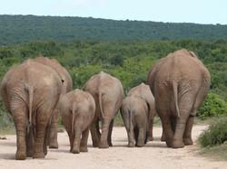 Elephants du désert