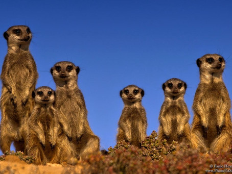 Les Suricates du Pan du Makgadikgadi