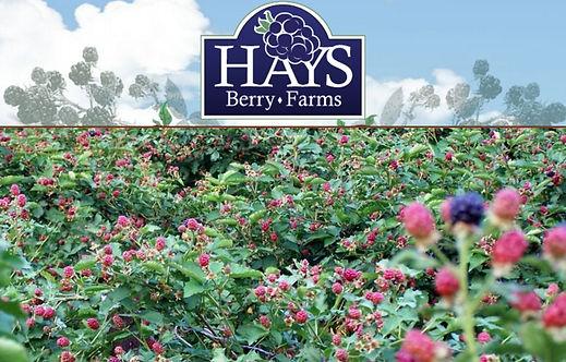 Hays Berry Farms