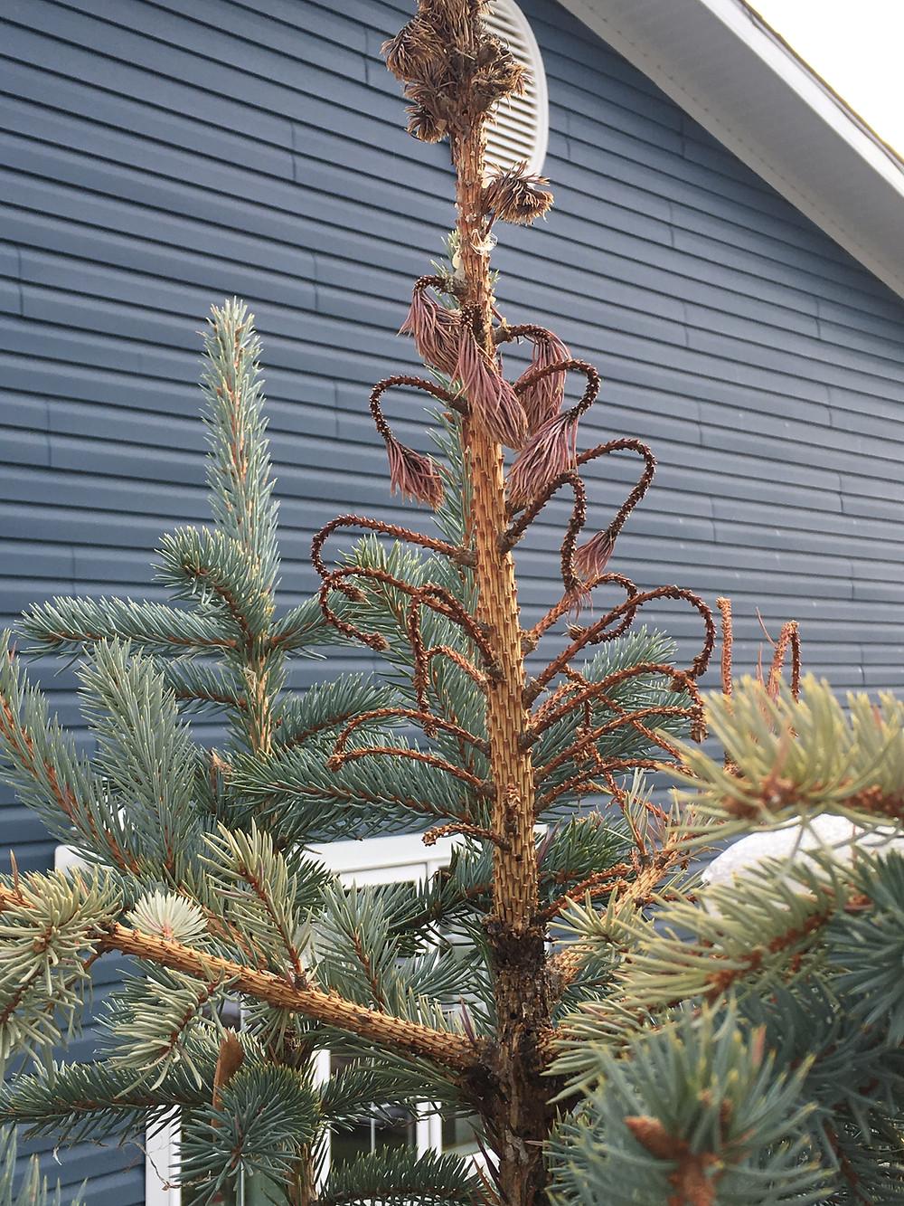 Spruce Weevil: LaRueTree Certified Arborists