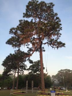 Florida Pine tree, ITCC 2015