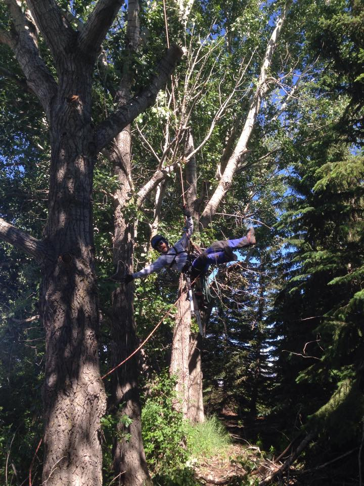 Having some fun while pruning a poplar windrow