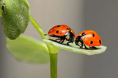 nature-couple%20coccinelles_edited.jpg